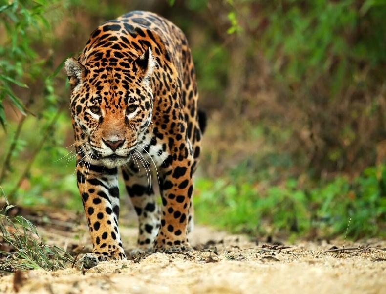Jaguar, Panama