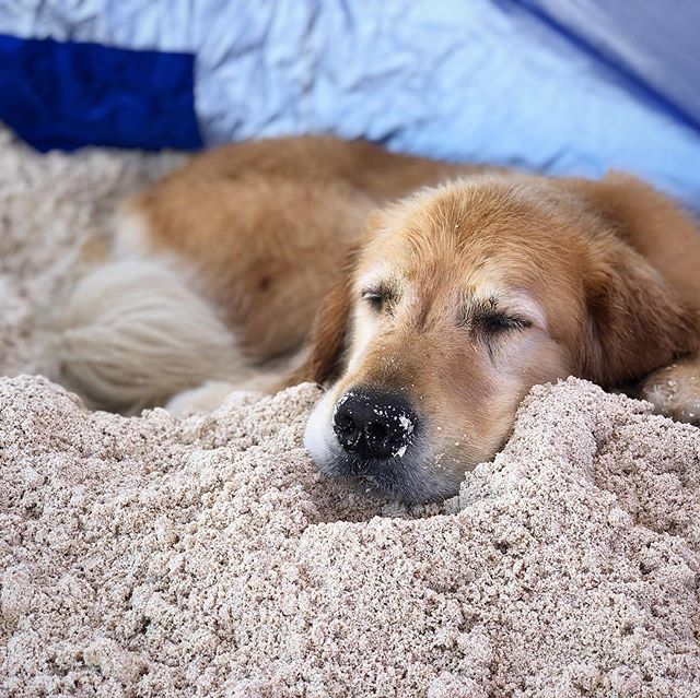 It's hot. Gil, after playing for a few minutes digs a hole in the shade of the tent and snoozes off for a while. Repeats as necessary.