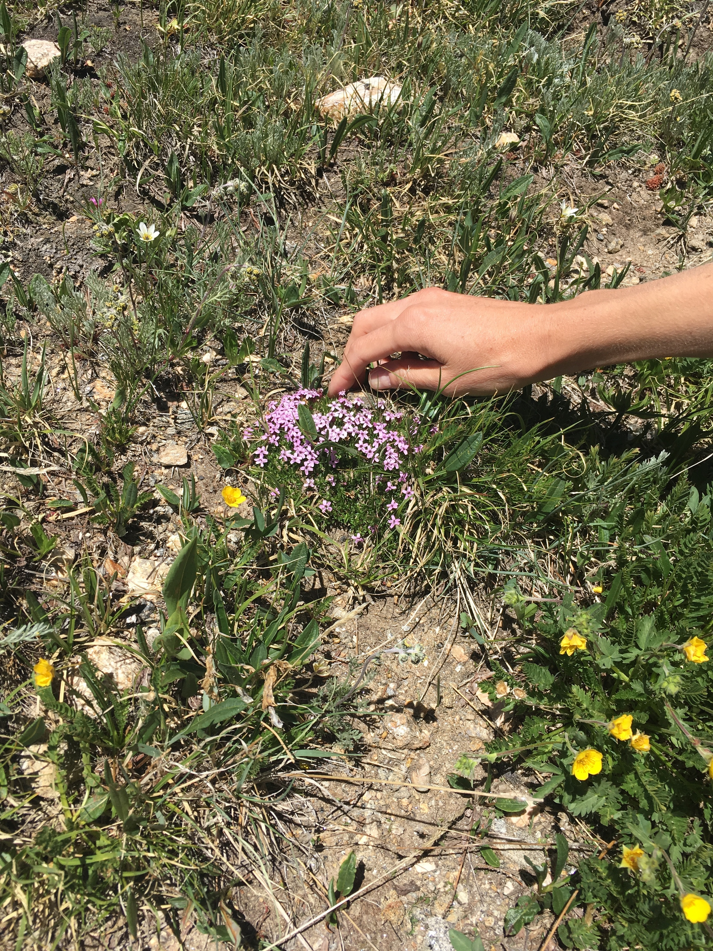 This is Moss Campion, and this plant, Megan guessed, is close to 50 years old.