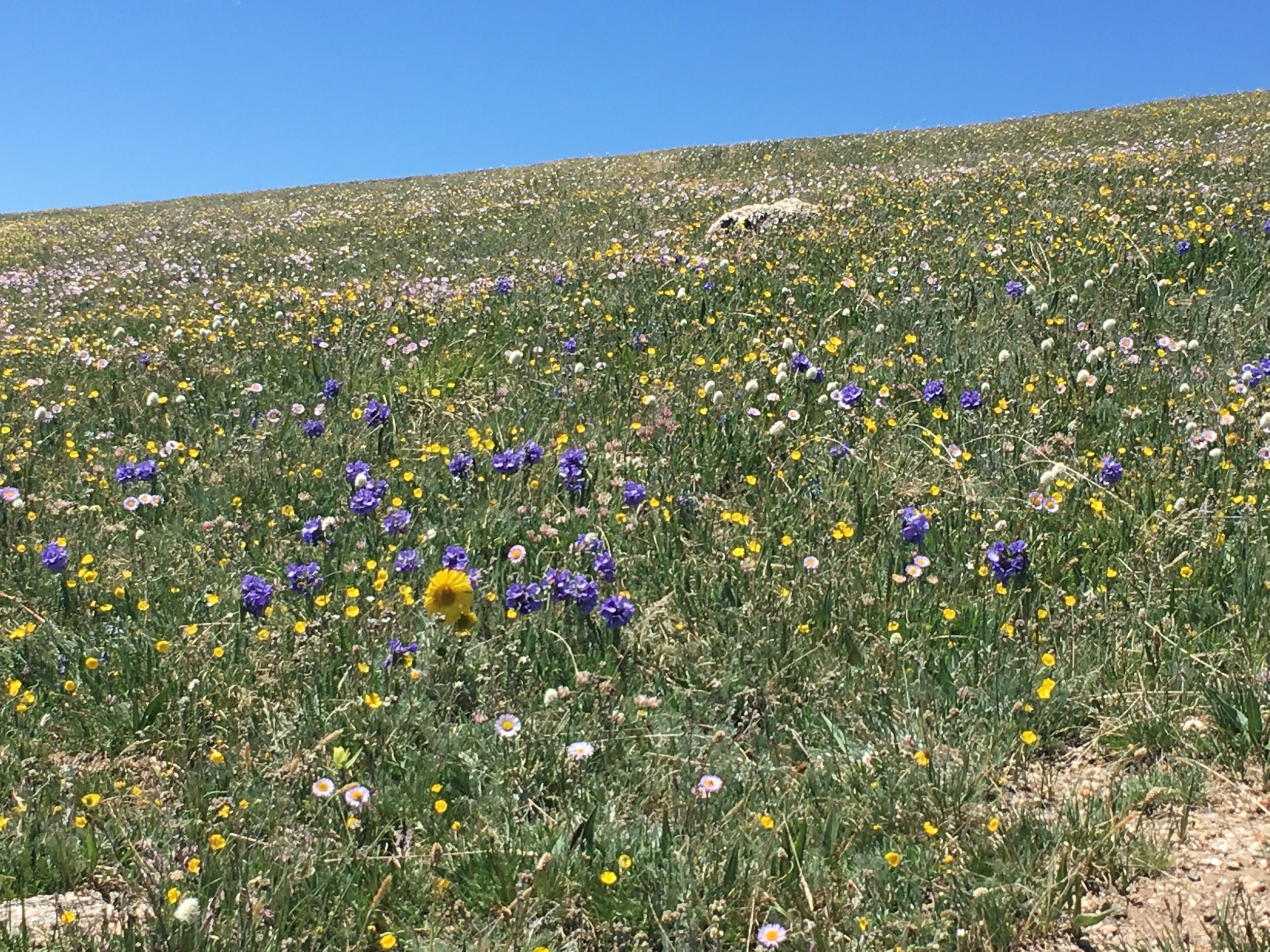 Alpine wildflowers, in July.