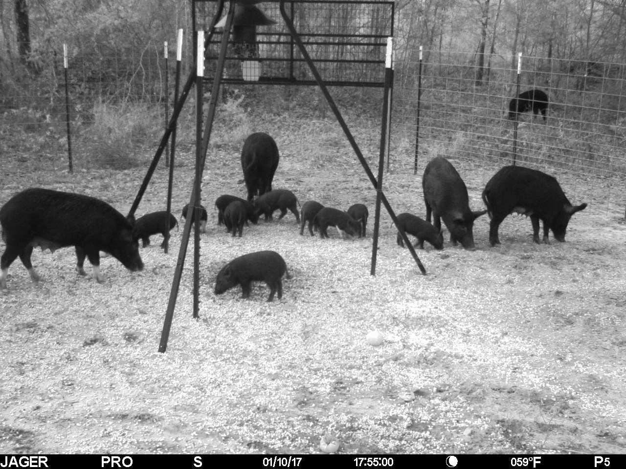 Hog-Trap.jpg
