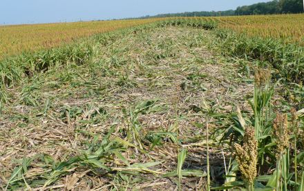 Crop damage from feral swine (photo by Tyler Campbell, USDA)