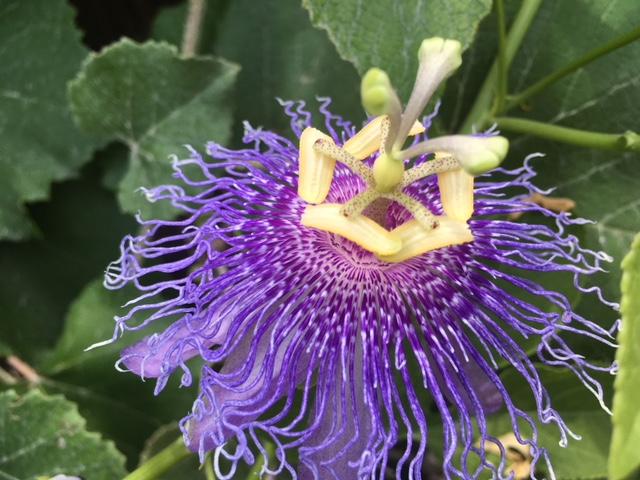 Passionflower in my garden