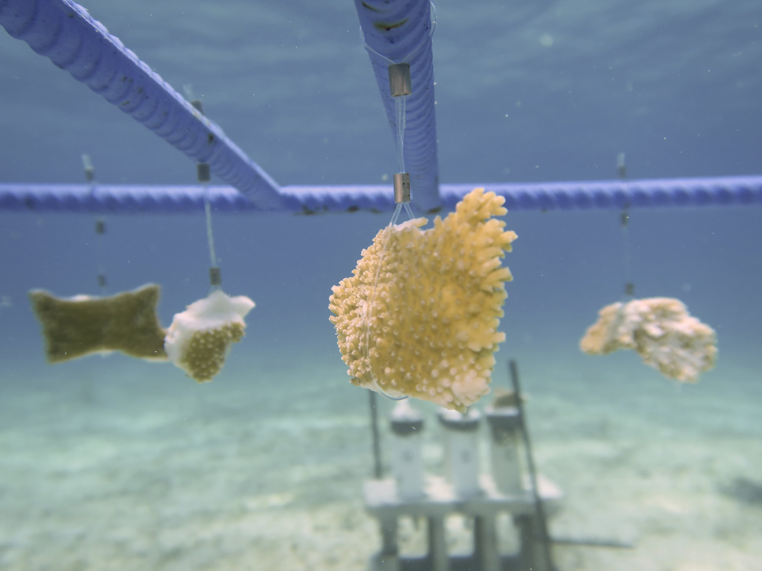 Photo 2: Elkhorn coral fragments hang from the rebar structure at the new shallow water nursery site.