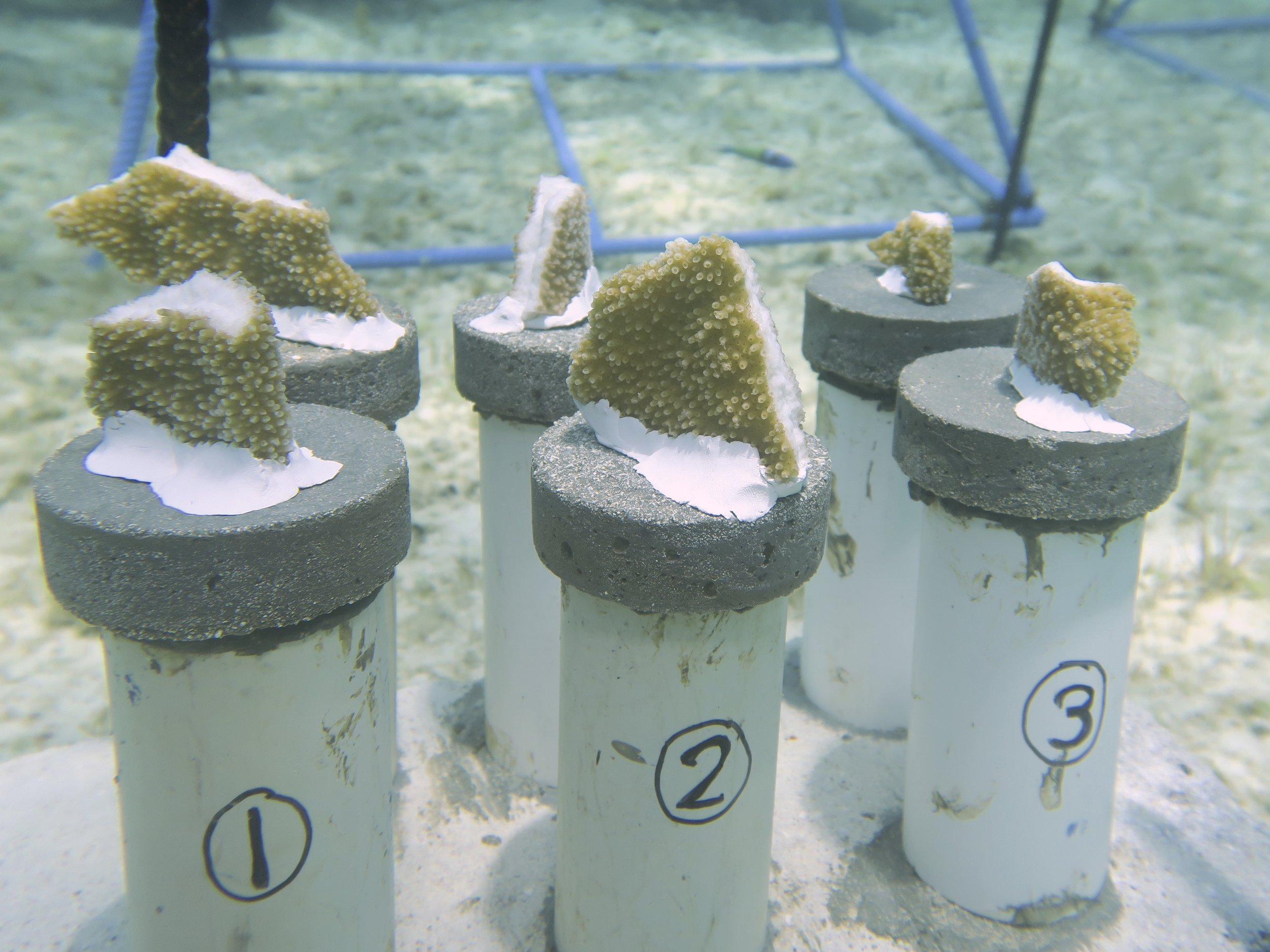 Photo 3: Elkhorn coral fragments attached to cement pucks using epoxy.