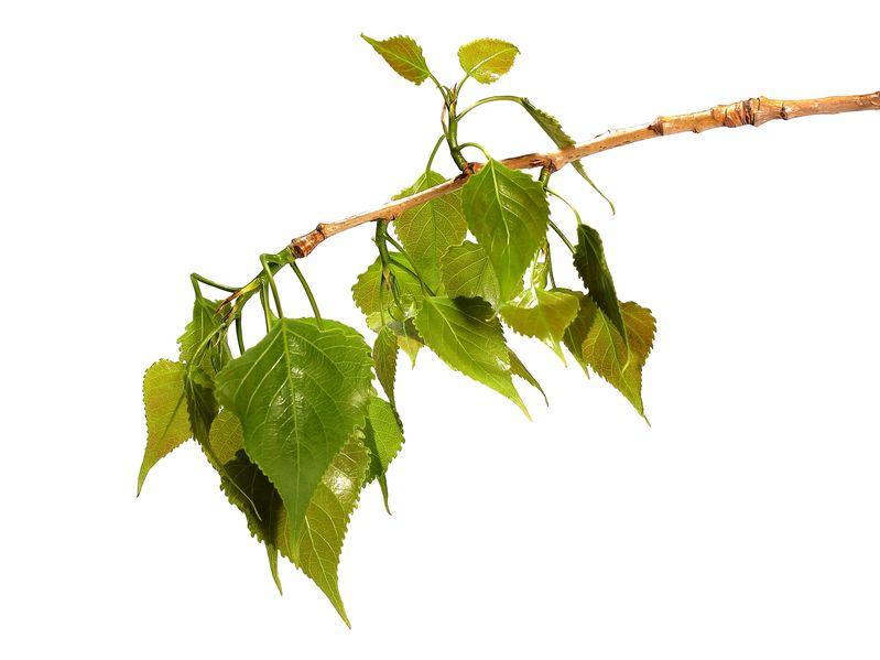 Poplar leaves fully emerged.