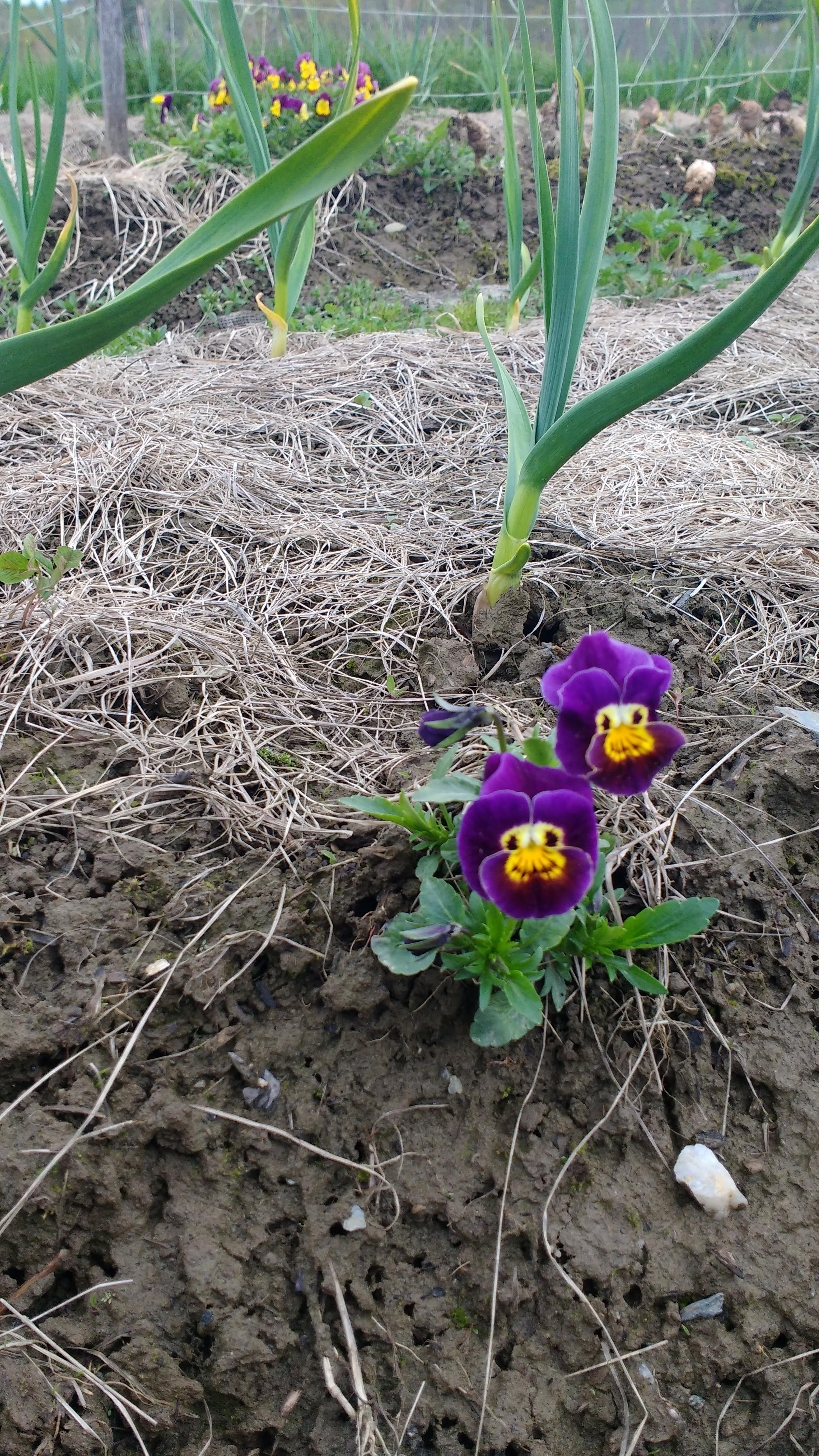 Smiling Pansies in the Garlic!