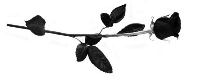 Harlow Rose.jpg