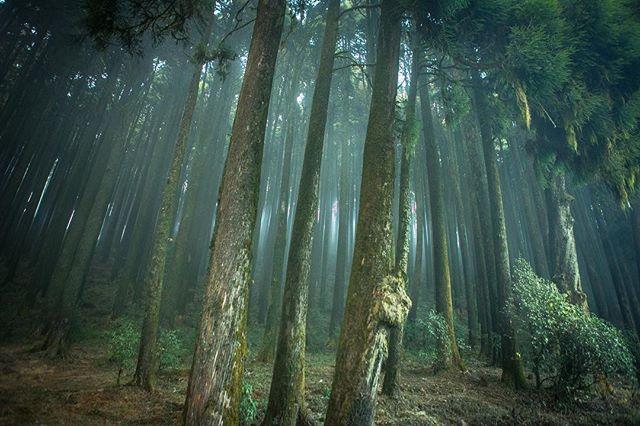 The hazy pine tree forests entourage to Darjeeling. #darjeeling #westbengal