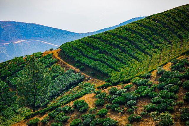 Lovely Darjeeling Tea Estates. #darjeeling #westbengal #teaestates
