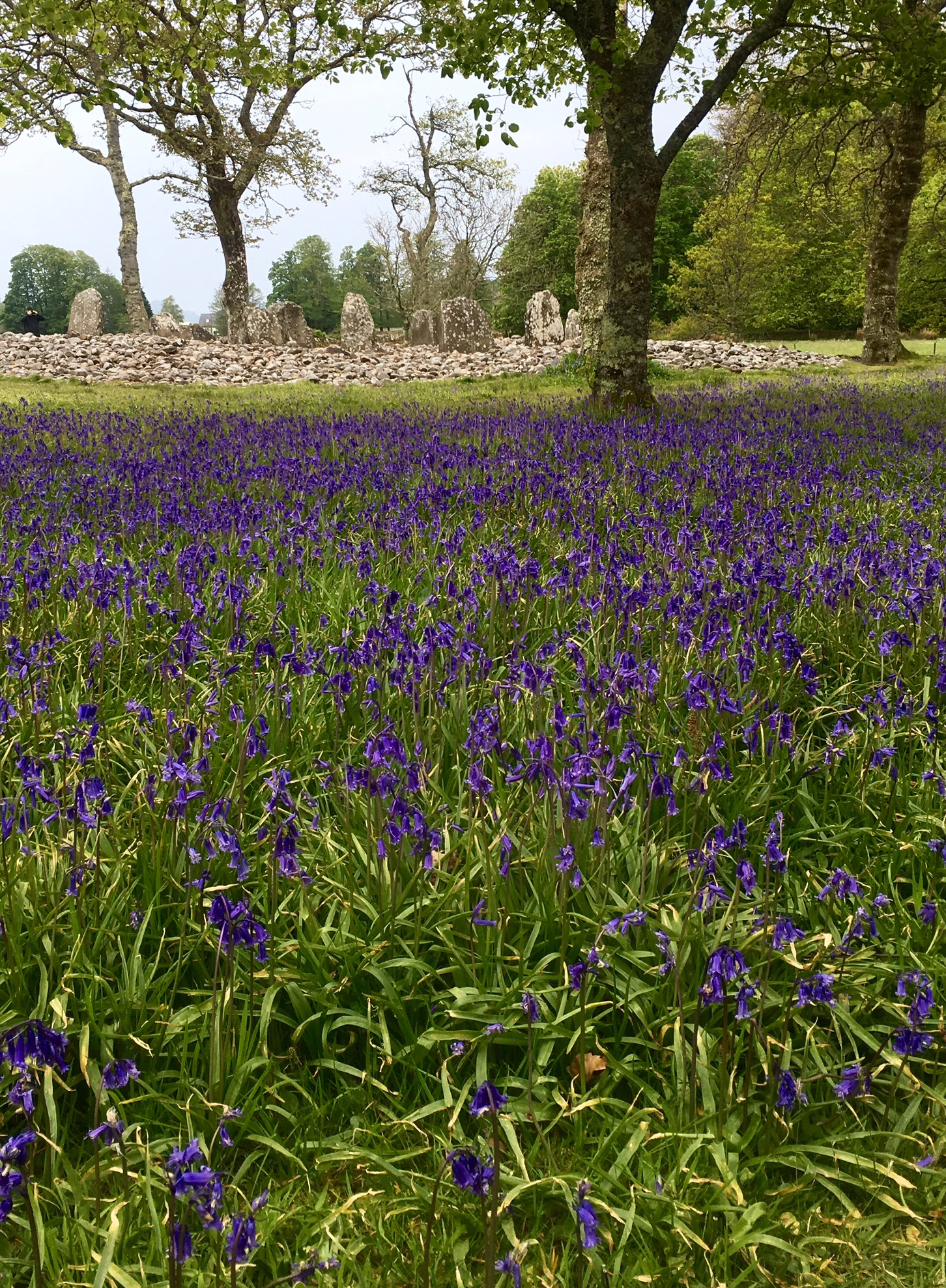 Temple Wood stone circle in the bluebells