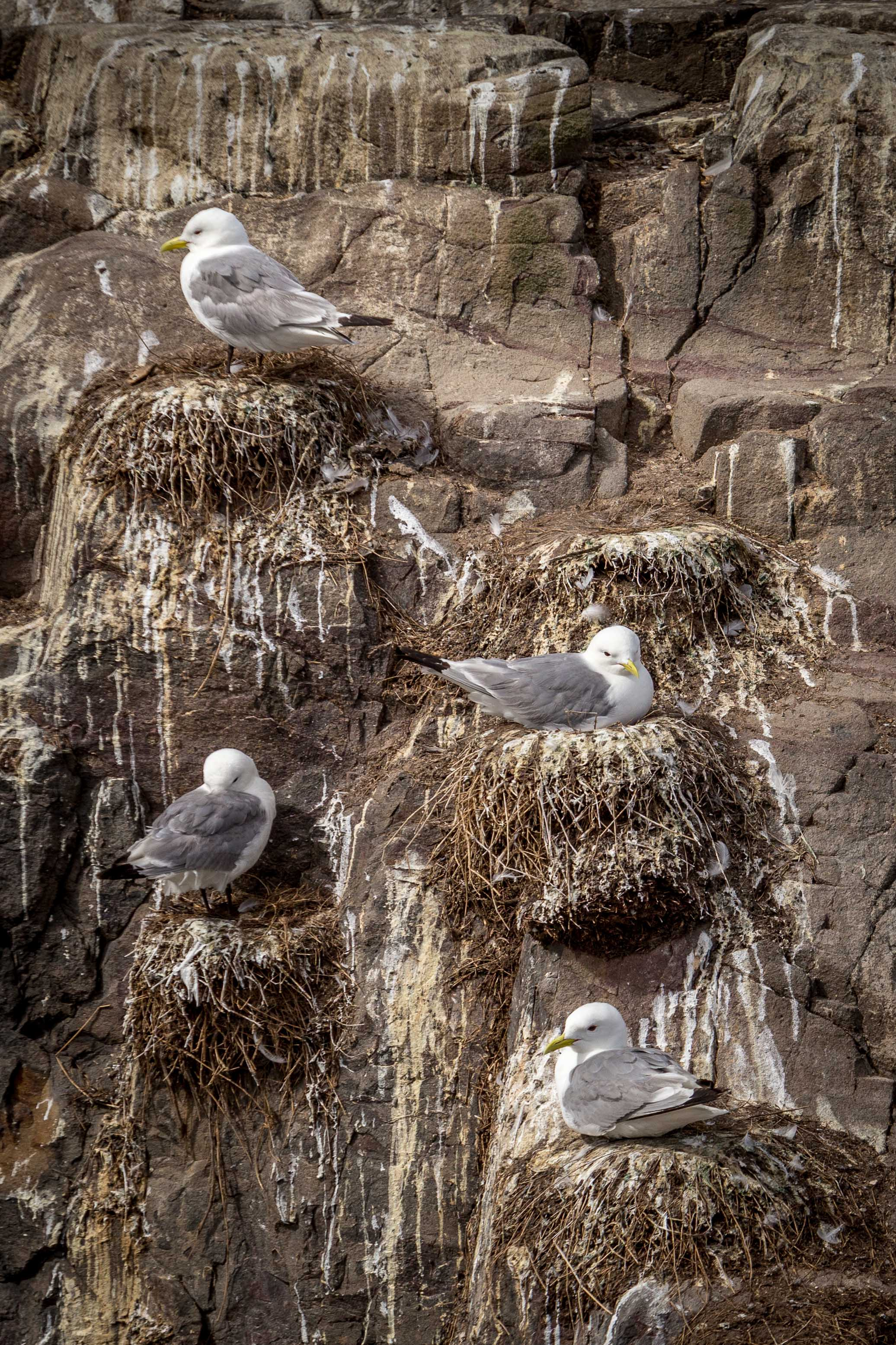 Kittiwakes on their cliff side nests