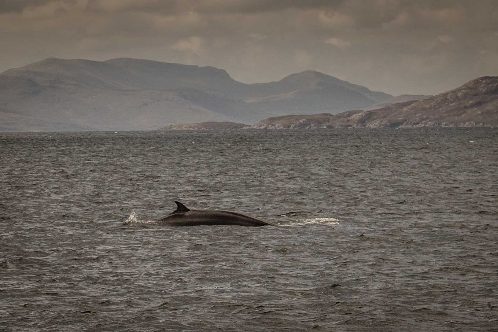 Minke whale - Loch Nevis