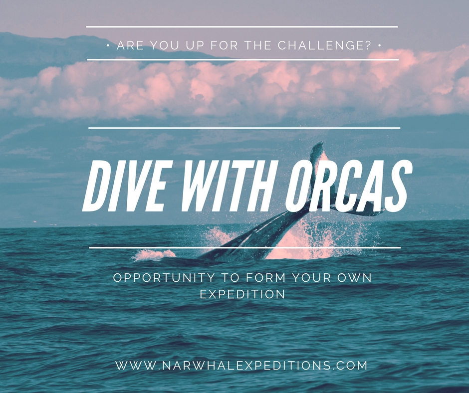 Swim and dive with orcas (killer whales) with expedition yacht Narwhal