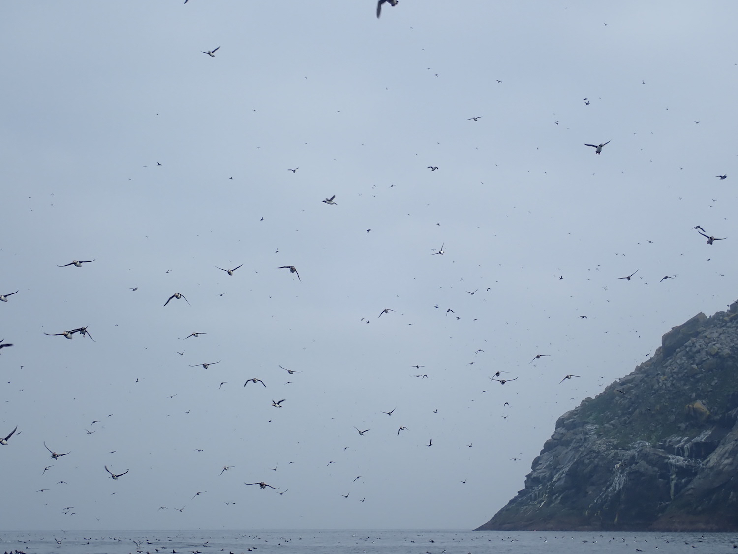 Puffins galore!