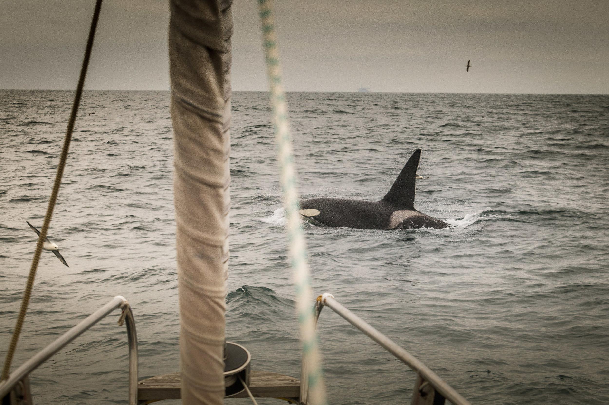 Orca sighting during marine mammal surveying