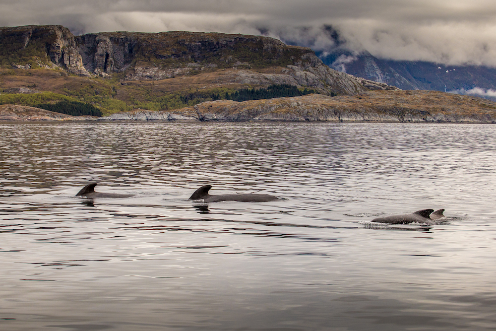 We were surrounded by around 200 pilot whales, some of which gave us quite a close up visit!