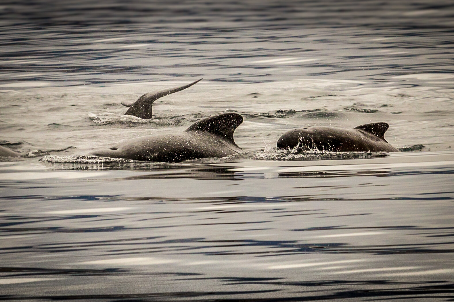 """Pilot whales approaching 'Narwhal""""'"""