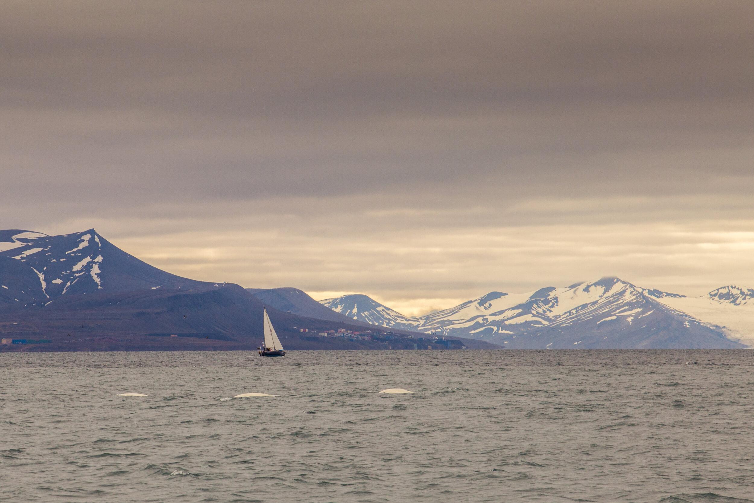 Sailing boat with beluga whales