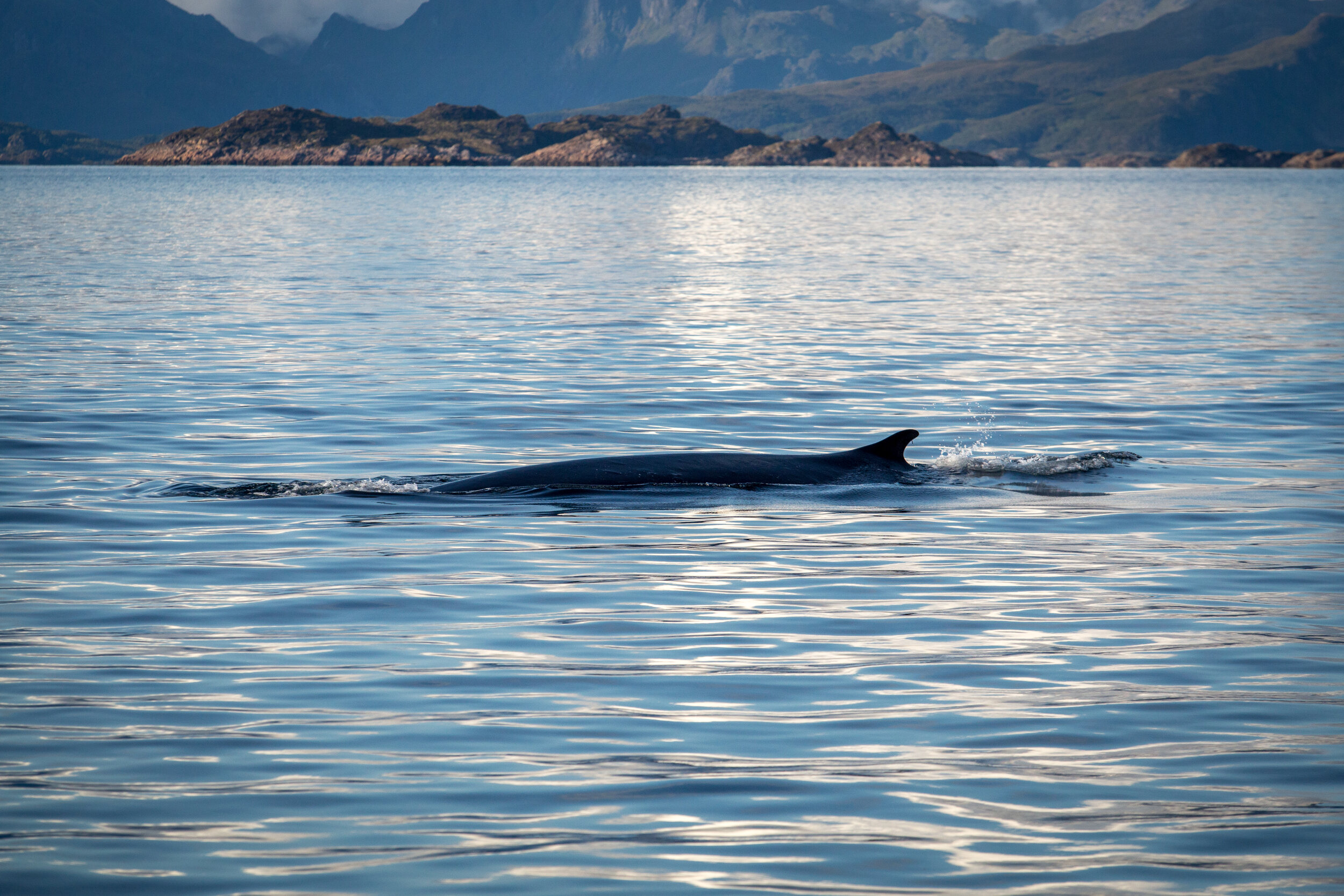 Fin whale surfacing from a dive