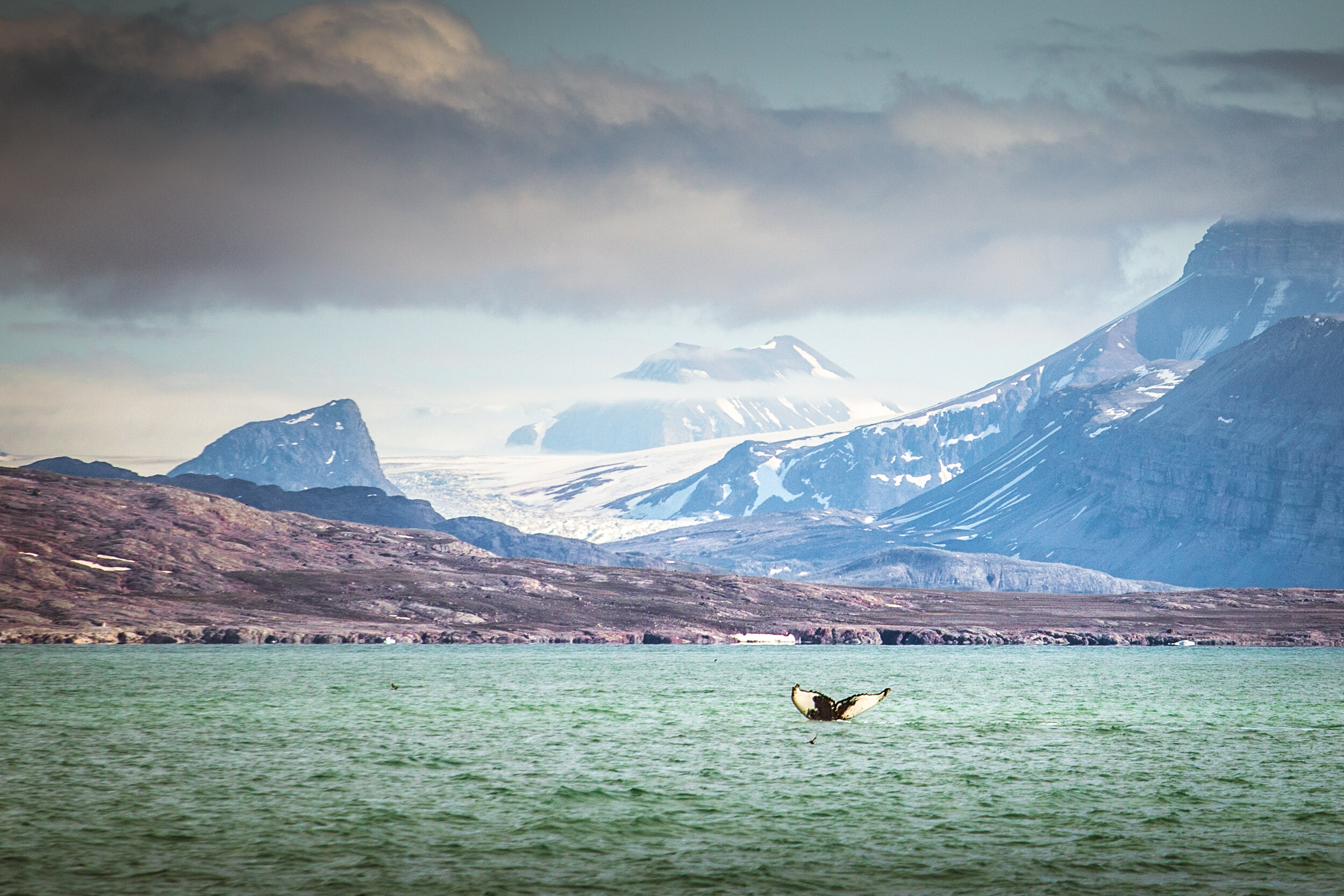 A humpback hale in it's element in Kongsfjord, Svalbard