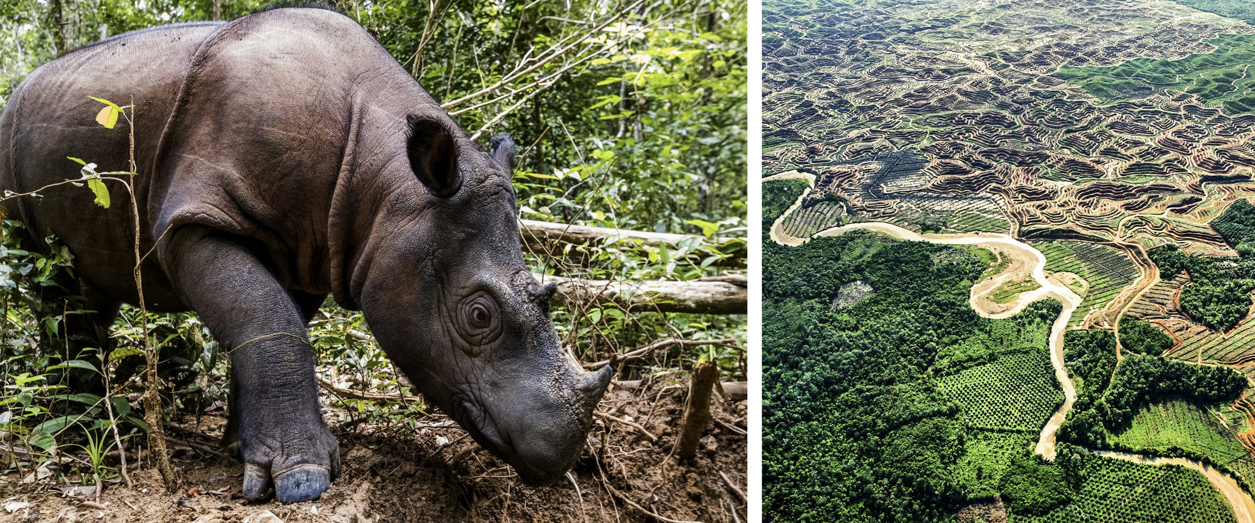 Photo: Paul Hilton. A critically endangered Sumatran rhino roams the Leuser Ecosystem, only time will tell if we manage to save this equatorial forest from conflict palm oil.