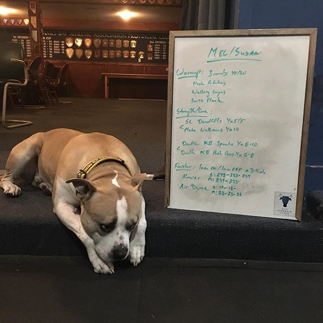 ☝🏻#bluestrengthfitness 's NUMBER ONE GYM DOG☝🏻 . . . Needing some midweek #fitspo ? Look no further! Have we mentioned we have a super accessible online programming option? Contact us to get started! #beyondfour #fitbot #yyjfitness #fitspo #fitfam #gym #gymdog #gymlife #workdog #wod #wodoftheday #training #personaltrainer #circuittraining #trainwithus #motivation #fitness #yyj #weights