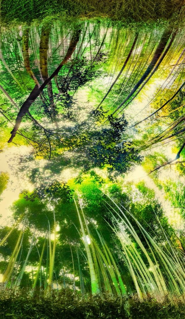 A beautiful morning in a bamboo forest in Kyoto, Japan. Photo by Trey Ratcliff.