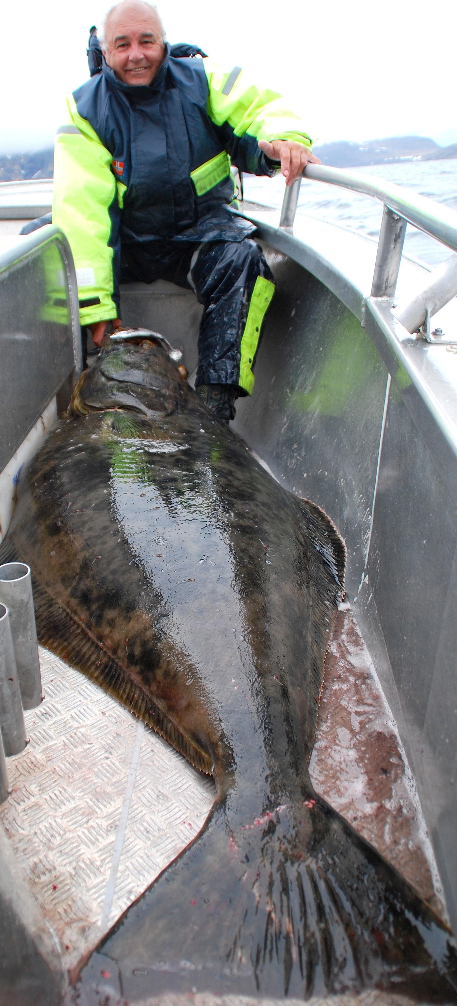 Frank med 231cm helleflynder fanget på SG 3D herring shad haddock kopi