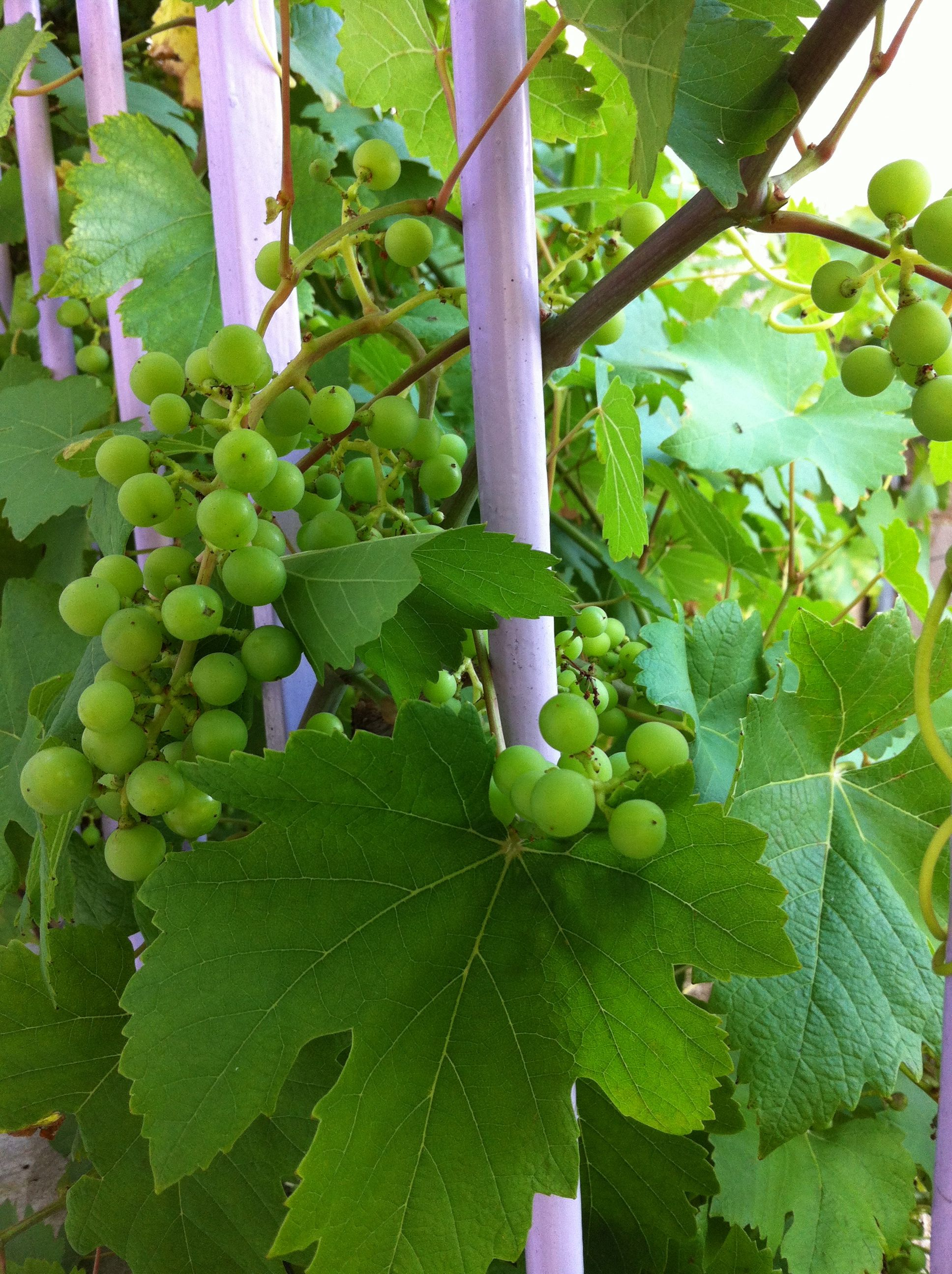 The riotous grapevine that grows up the staircase to  La Maison des Deux Clochers