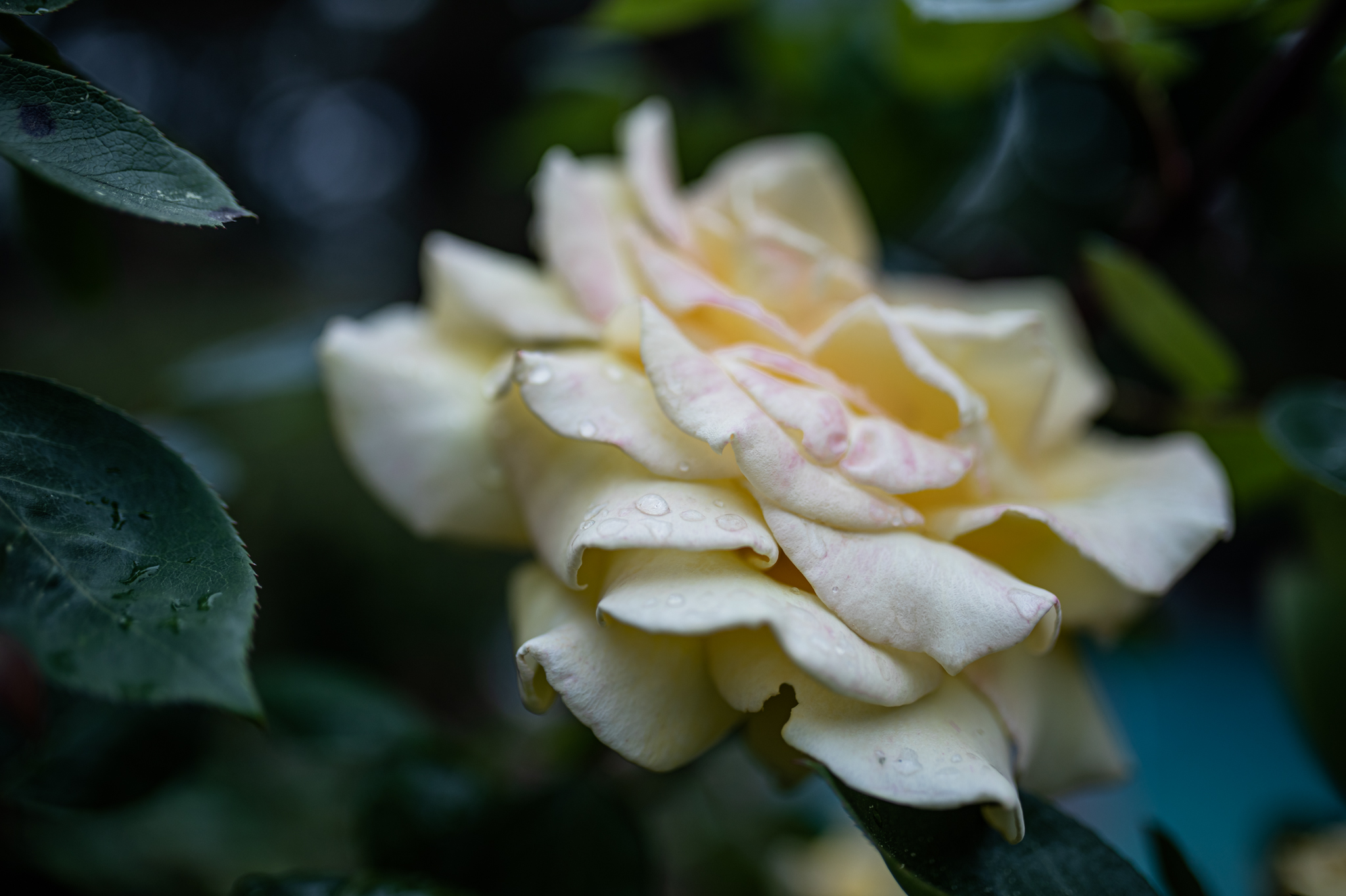 Roses in the Rain | Lenkaland Photography