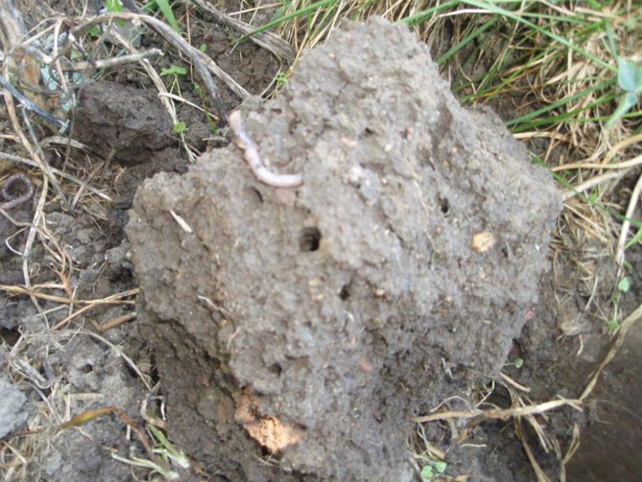 Figure 1.  Untilled agricultural soil shows evidence of activity by soil organisms including earthworms, garden worms, and macroinvertebrates such as beetles, sowbugs, centipedes. Other microfauna, microflora, bacteria, and algae are invisible to the naked eye, but provide a constant source of organic matter and biological activity within the soil.