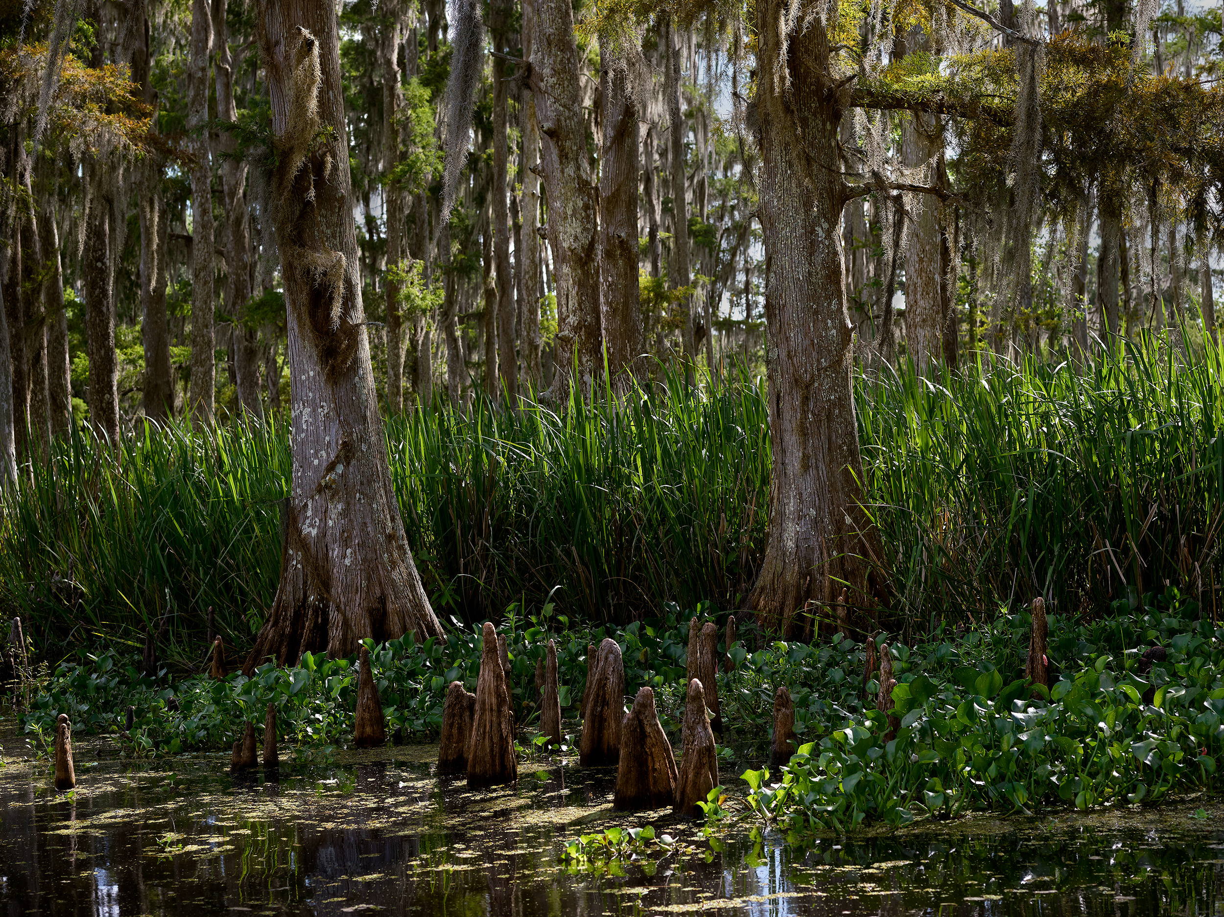 Cypress Stand with Knees, Mandalay Wildlife Refuge (2018)