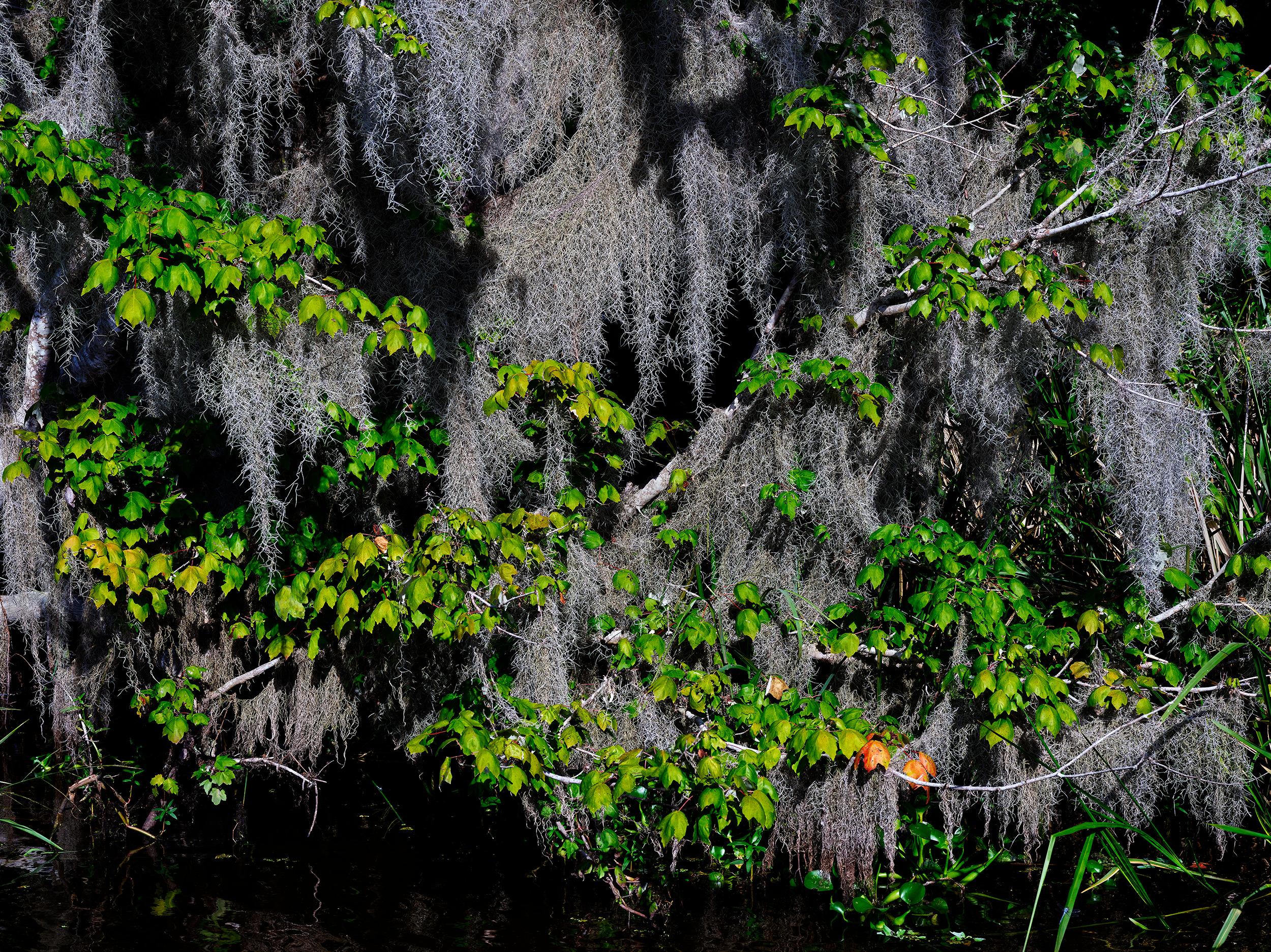 Spanish Moss, Mandalay Wildlife Refuge (2018)