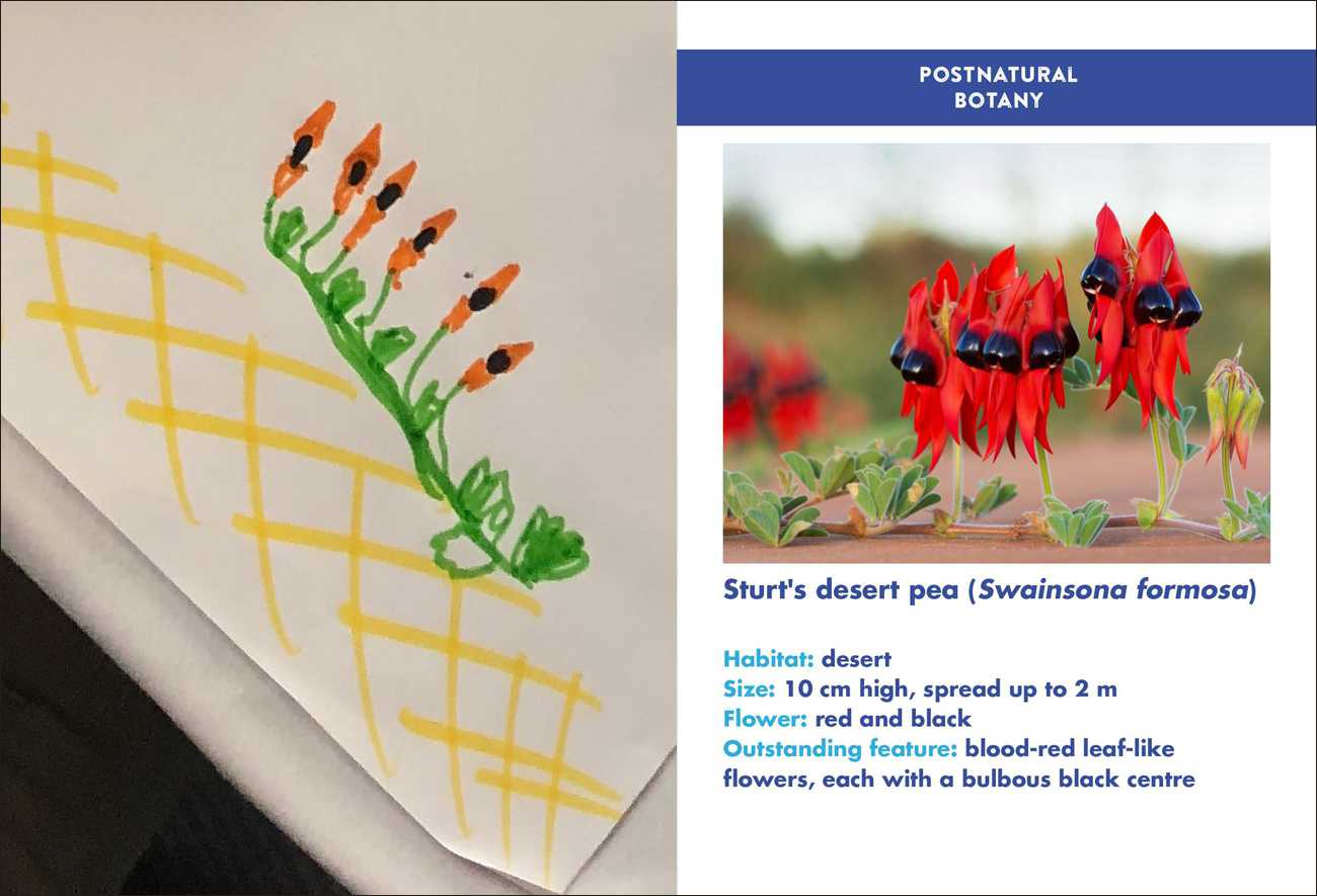 """An amazingly accurate rendering of a Sturt's Desert Pea by  Jan Lyczakowski , who exclaimed """"I've never seen this plant before, but apparently I did a pretty well!"""" Photo: Nicola Patron"""