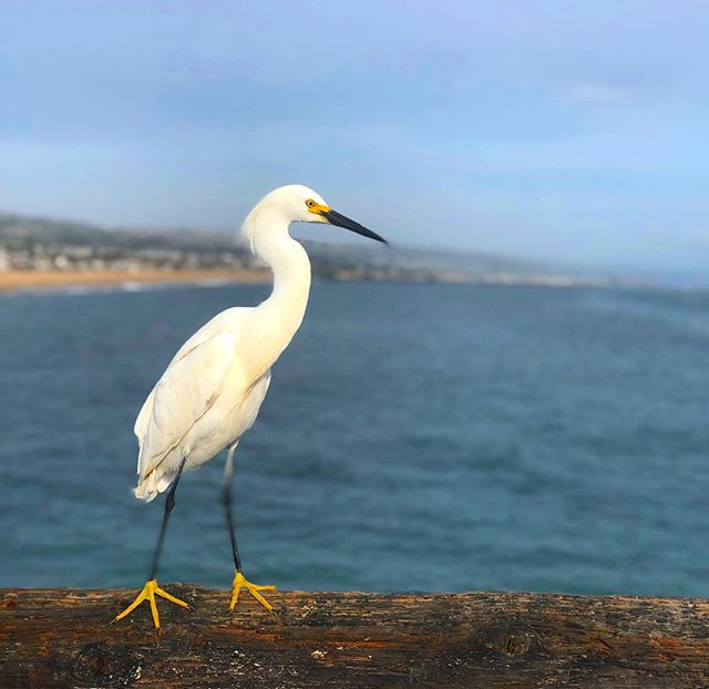 Taken on portrait mode on the iphone. Just used rule of thirds. #islastudio * * * * * #california #crane #pacific #pacificnorthwest #pacificocean #bird #birds #birdwatching #blue #photography #instapic #insta #canon #camera #naturephotography #photo #photographylovers #photographylife #travelphotography #photography📷 #photographyart #nature #naturelovers