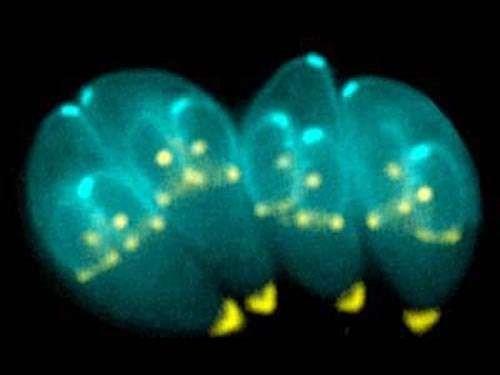 Taxoplasma Gondii.jpg