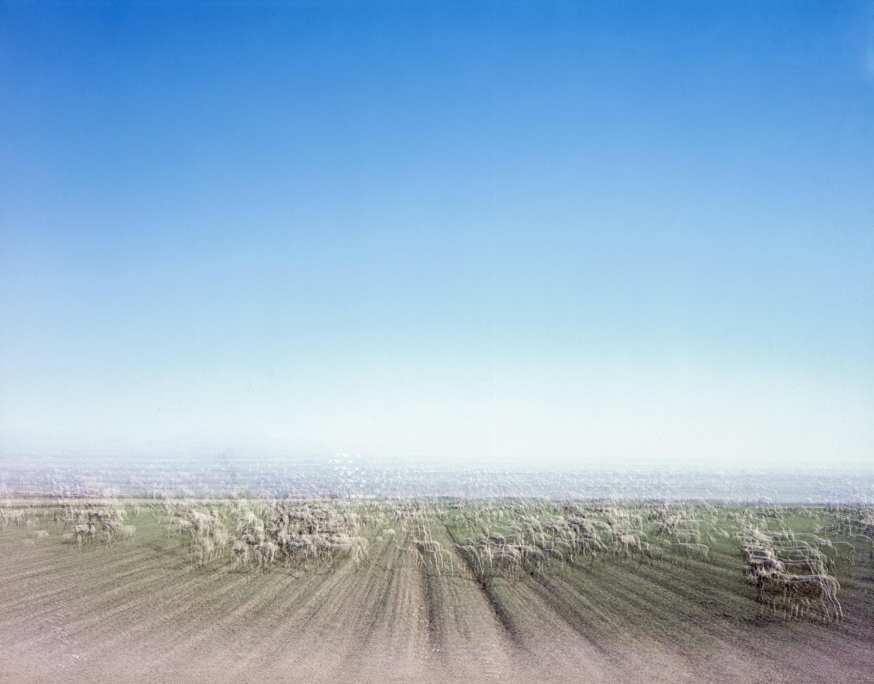 Sheep In Open Field