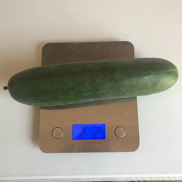 Everything is bigger in aquaponics! 😳🥒💪 #sustainable #organic #growth #holymoly #large #cucumber #aquaponics #verticalfarming