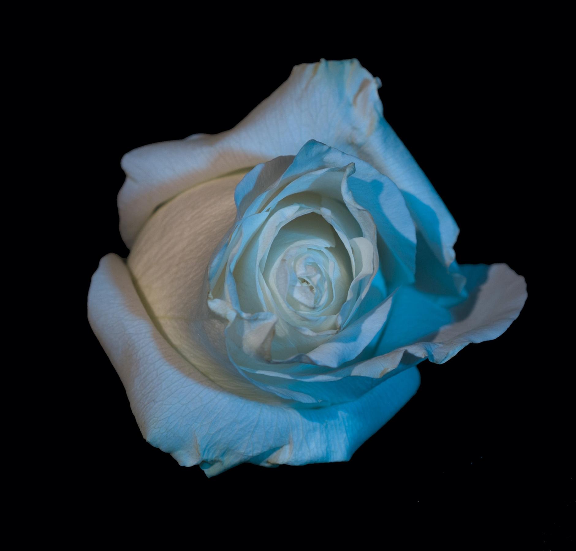 Velvet Roses 47.jpg