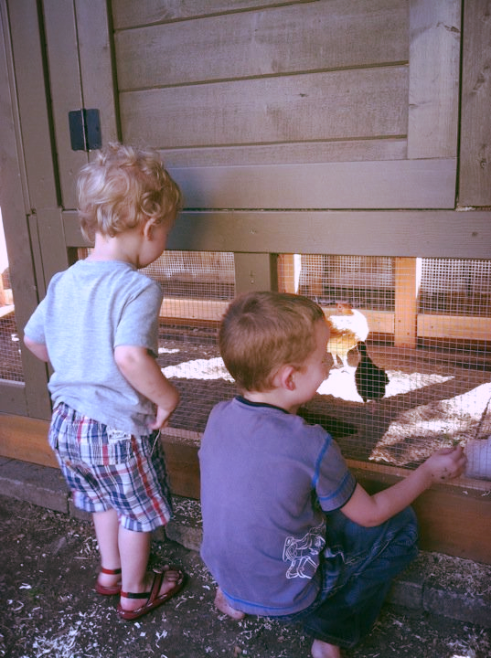 Moving our chicks into their new home.