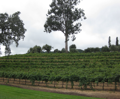 Rubicon Vineyard