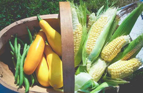 Basket of Corn of the cob and vegetables