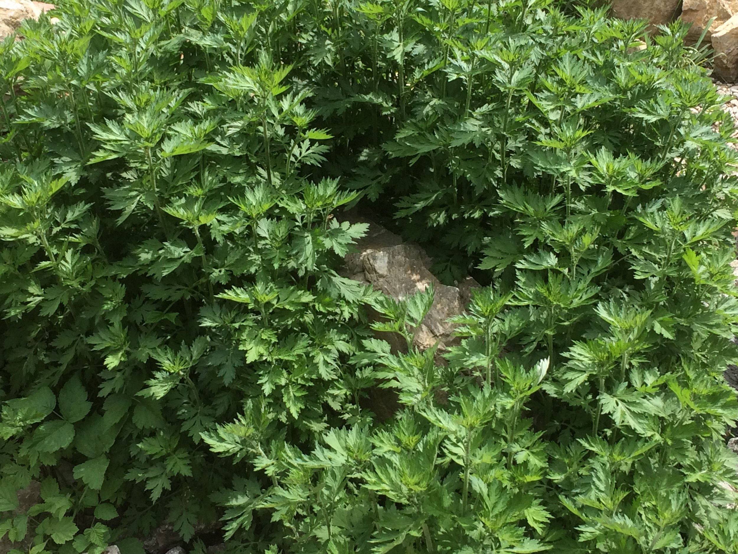 Artemisia vulgaris, Mai 2018