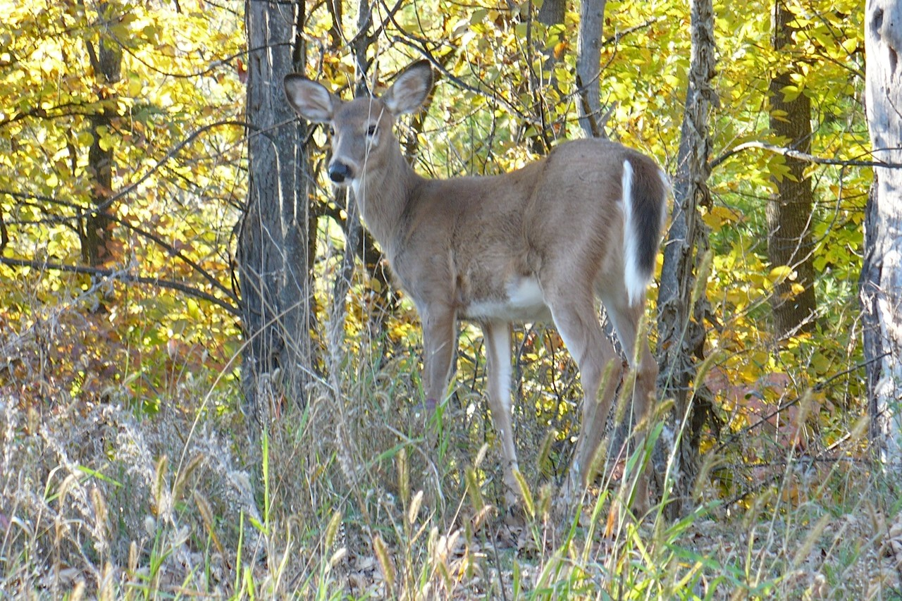Thanksgiving deer 1.jpg