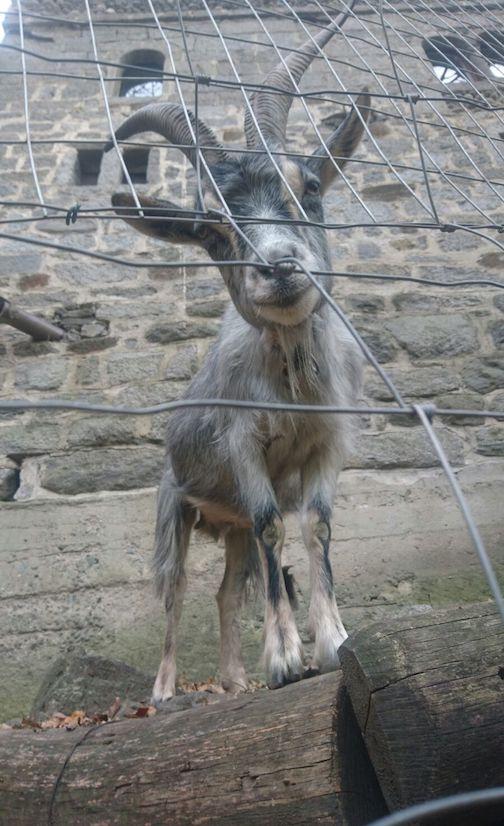 A curious goat at Brunnenburg