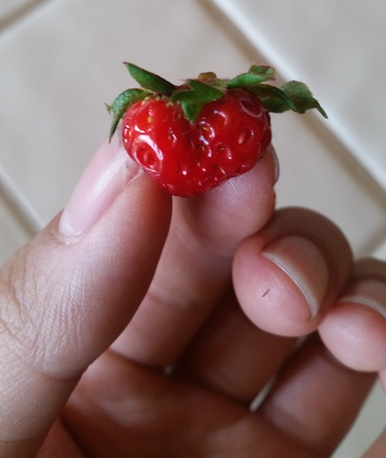 Tiny garden strawberry