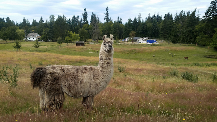Chip the llama