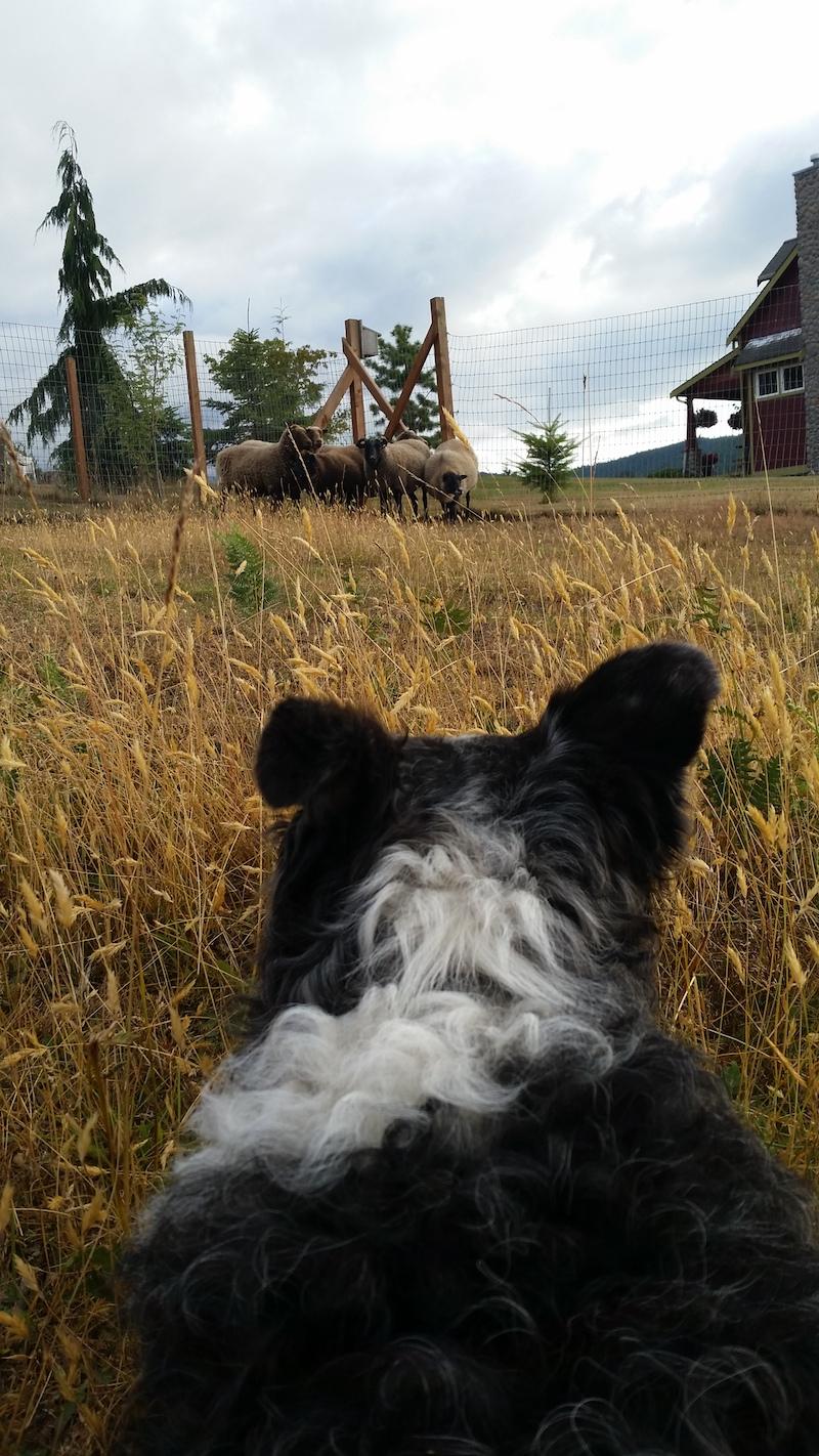 Rudy, sheepdog on duty