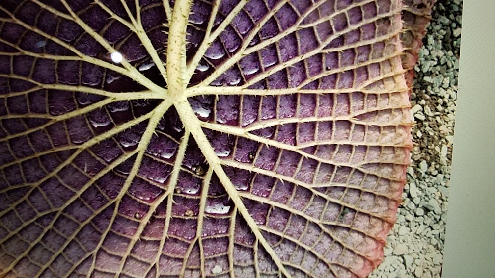 I kept returning to the texture of a lilypad as the basis for my textiles. (Photo taken from https://biomimicron.wordpress.com/2012/11/23/the-5-great-biomimicry-applications-series-plants-4/)